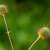 Big Leaf Avens Seed Pods